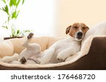 Stock photo dog having a relaxing siesta in living room 176468720