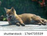 Red Fox  Vulpes Vulpes  Adult...