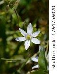Garden Star Of Bethlehem Flower ...