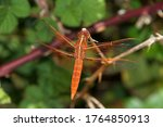 Close Up Of A Flame Skimmer Or ...