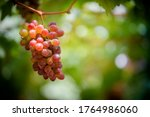 Red Fresh Grapes On The Tree ...