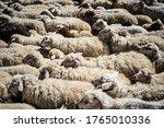 Sheep Migration Georgia Textur...