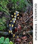 Small photo of Fire Salamander (Salamander salamandra) closeup.
