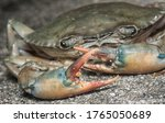 close shot of common brown rock crab