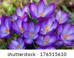 Lot Of Purple Crocus Flowers I...