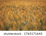 A Red Poppy In A Wheat Field...