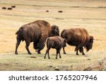 American Bisons Family Walking...