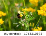 Bumblebee Collecting And...