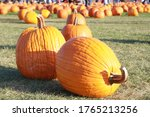 Pumpkin Patch In A Fall Day