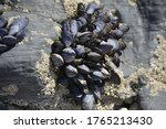 Cluster Of Mussels On A Rock A...
