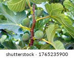 Green Unripe Figs Hang On A...