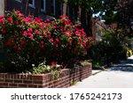 Beautiful Red Rose Bush During...