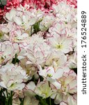 white tulips with pink edges... | Shutterstock . vector #176524889