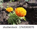 Marigold Flowers Garden Annual ...