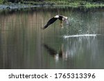 American Bald Eagle Catches Fish