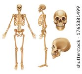 human skeleton. realistic front ...