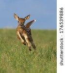 Whitetail Deer Fawn  Odocoileu...
