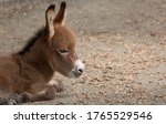 Profile Of A Baby Donkey Laying ...