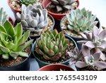 Stunning Echeveria Succulents...
