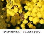 Western Honey Bee  Apis...