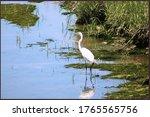 Snowy Egret Stalking Along King'...
