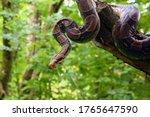 The Boa Constrictor  Boa...