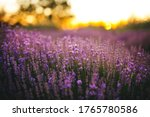 beautiful purple lavender...   Shutterstock . vector #1765780586