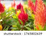 A Celosia Cristata Flower That...