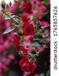 Bushes Of Red Or Scarlet Roses...
