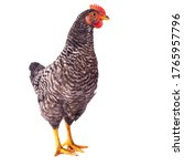 Plymouth Rock Chicken On A...