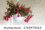 Beautiful Fuchsia Flowers In...
