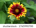 An Image Of A Gaillardia...