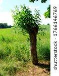 Small photo of pollard willow in zhe sunshine