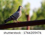 Homing Pigeon  Racing Pigeon Or ...
