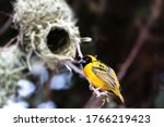 Male Of Small Yellow Bird...