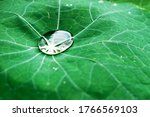 Lotus Green Leaf With Water...