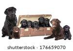 Labrador Puppies Litter  Dog...