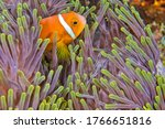 Blackfinned Anemonefish, Amphiprion nigripes, Magnificent Sea Anemone, Heteractis magnifica, Coral Reef, South Ari Atoll, Maldives, Indian Ocean, Asia