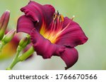 Close Up On Coloured Daylily...