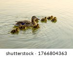 A Wild Duck With Little...