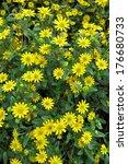 sanvitalia sp.                   | Shutterstock . vector #176680733