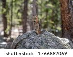 Wild Colorado Chipmunk  Tamias...