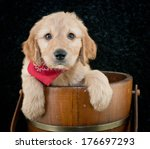 Very Sweet Goldendoodle Puppy...