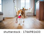 Dog Beagle Featching A Toy...