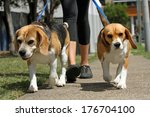 Stock photo walking beagle dogs on lead 176704100