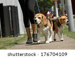 Stock photo walking beagle dogs on lead 176704109