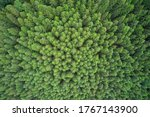 Plantation Of Spruce Trees. To...