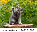Gray Cute Kitten Pointing Up...