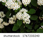 White Flowers Of Bridal Wreath...