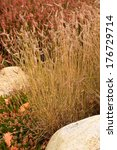 Small photo of Blue grama grass - Bouteloua gracilis